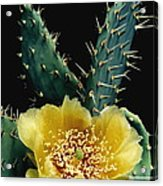 Prickly Pear Cactus Flower Acrylic Print