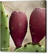 Prickly Pear Cactus Fruit Acrylic Print