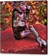 Primate Footsie Games Acrylic Print