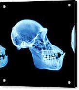 Primate Skulls Acrylic Print
