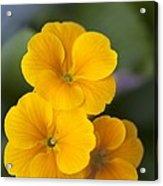 Primrose (primula Polyanthus) Acrylic Print by Maria Mosolova