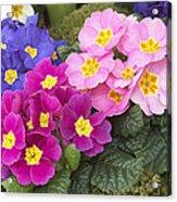 Primrose Primula Sp Flowers Acrylic Print