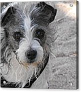 Prissy Acrylic Print by Rebecca Cearley