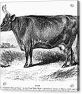 Prize Devon Cow, 1855 Acrylic Print