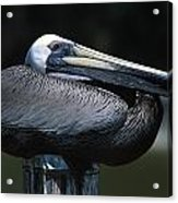 Profile Of Brown Pelican On Post Acrylic Print