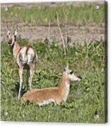 Pronghorn Antelope With Young Acrylic Print