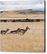 Pronghorn Antelopes On The Run Acrylic Print