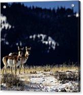 Pronghorn (antilocarpa Americana) Acrylic Print by Altrendo Nature