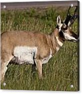 Pronghorn Male Custer State Park Black Hills South Dakota -1 Acrylic Print