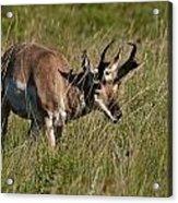 Pronghorn Male Custer State Park Black Hills South Dakota -3 Acrylic Print