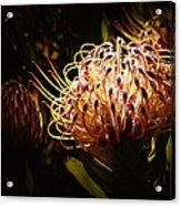 Protea Flower 10 Acrylic Print