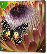 Protea With Speckled Butterfly Acrylic Print
