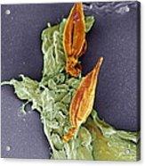 Protozoan Infecting Macrophage, Sem Acrylic Print