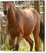 Proud Horse Acrylic Print