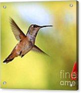Proud Hummingbird Acrylic Print