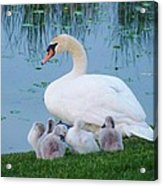 Proud Mother Swan Acrylic Print