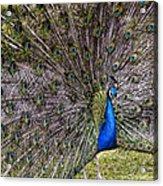 Proud Peacock At Leeds Castle Acrylic Print
