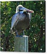 Proud Pelican Of Pine Island Acrylic Print