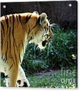 Prowling 2 Acrylic Print