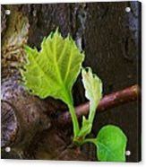 Pruning And New Growth Acrylic Print