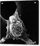 Pseudopodia Sem Acrylic Print by Science Source