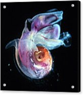 Pteropod Mollusc, Candida Species Acrylic Print by Sinclair Stammers