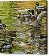 Ducks Unlimited 02 Acrylic Print