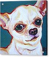 White Chihuahua - Puddy Acrylic Print