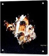 Puff Fish Seashell Acrylic Print