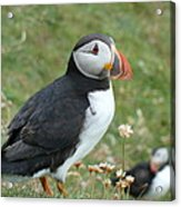 Puffin Acrylic Print by George Leask