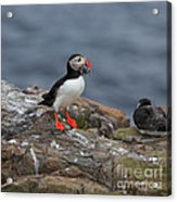 Puffin With Sand Eels Acrylic Print