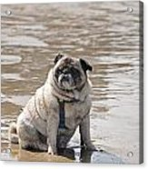 Pug Can't Be Budged Acrylic Print