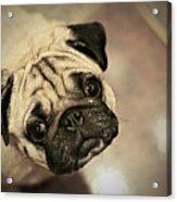 Pug Dog Acrylic Print