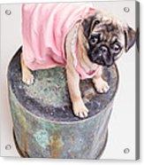 Pug Puppy Pink Sun Dress Acrylic Print