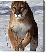 Puma At The Run Acrylic Print