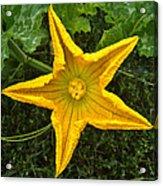 Pumpkin Flower 1 Acrylic Print