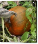 Pumpkin On The Vine Acrylic Print