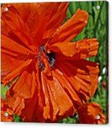 Pumpkin Poppy Acrylic Print