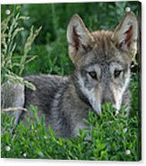 Pup In The Grass Acrylic Print