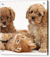 Puppies And Kitten Acrylic Print