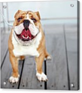Puppy Dog Breed English Bulldog Acrylic Print
