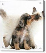 Puppy Licking Kitten Acrylic Print