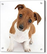 Puppy Looking Up Acrylic Print