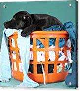 Puppy Lying In Laundry Basket Acrylic Print