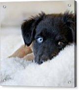 Puppy Lying On Soft Blanket Acrylic Print by Angela Auclair