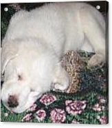 Puppy Nap Acrylic Print