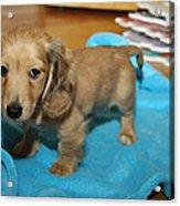 Puppy On Blue Blanket Acrylic Print