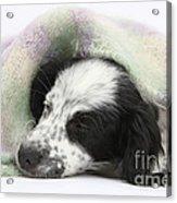 Puppy Sleeping Under Scarf Acrylic Print