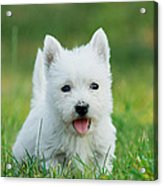 Puppy West Highland White Terrier Acrylic Print