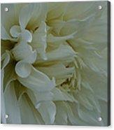 Pure Dahlia Acrylic Print